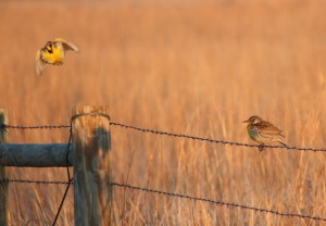 A pair of western meadowlarks in the spring. They're not just being neighborly.