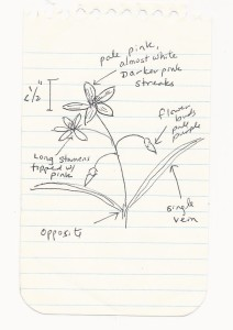 My sketch of a Spring Beauty