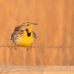 Western or eastern meadowlark? A field guide will tell you.