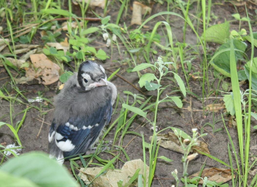 Baby Bird Watching | A Naturalist Walks Home