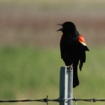 A red-winged blackbird may dive-bomb people who walk too close to his nest.