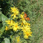 Look for native plants and pollinators along trails, like this cup plant and viceroy butterfly photographed in August.